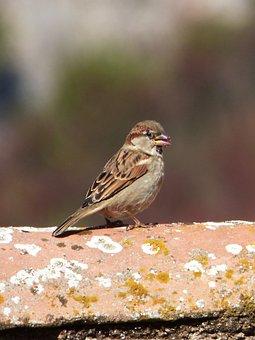 Sparrow, Pardal, Bird, Roof, Eat
