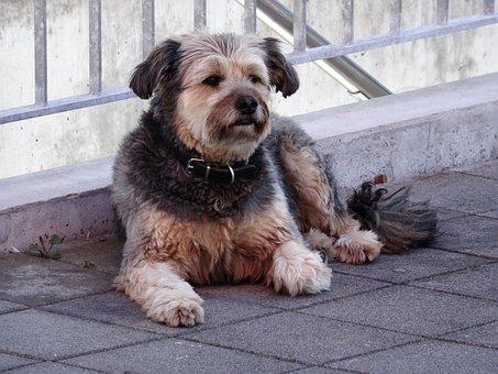 Dog, Pet, Scrubby, Friend Of Man, Male