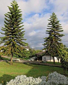 Ecuador, Araucaria, Coniferous, Trees, Landscape