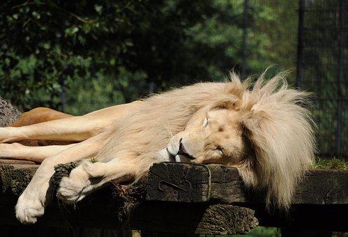 Lion, Zoo Cloppenburg, Sleeping, Males, Mane, Predator