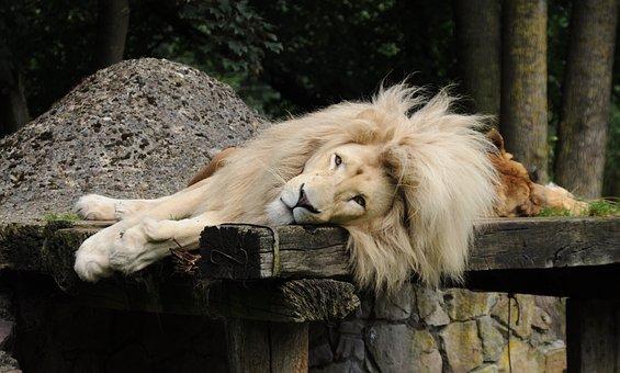 Lion, Males, Mane, Zoo Cloppenburg Thüle, Lying