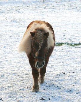 Shetlander, Snow, Pasture, Stallion, Nature, Meadow