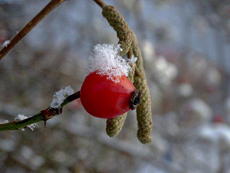 Rose Hip, Winter, Snow, Cold, Nature, Red, Frost, Ice