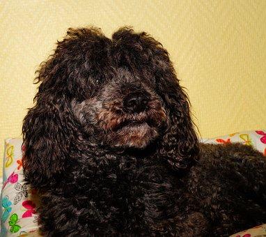 Dog, Poodle, Male, Black, Curly Fur, Pose, Portrait
