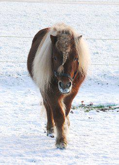 Horse, Pony, Pasture, Snow, Landscape, Stallion, Fox