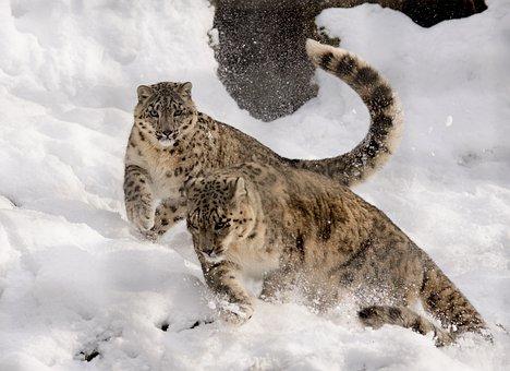 Snow Leopard, Play, Get It All, Snow, Zoo, Big Cat