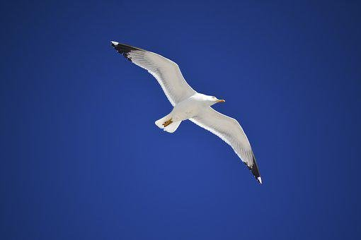 Seagull, Bird In The Sky, Blue Sky, White, Bird, Sky