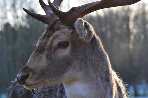 Wild, Hirsch, Forest, Roe Deer, Animal, Wildlife Park