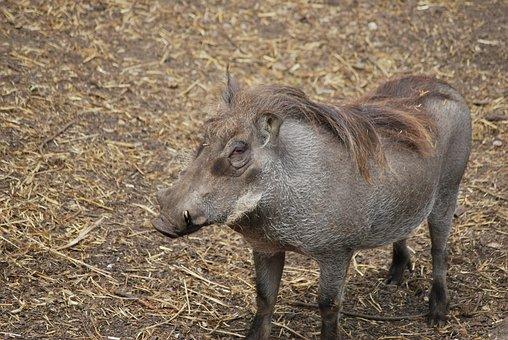 Wild-boar, Boar, Mammal, Wildlife, Wild, Animal, Pig
