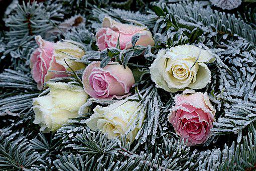 Flowers, Roses, Firs, Lying, Winter, Frosty