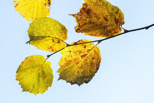 Hazel Leaves, Hazel Branch, Fall Leaves, Autumn