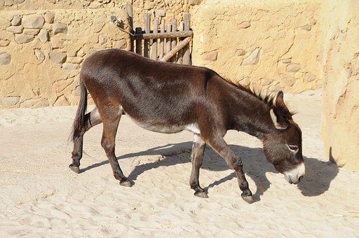 Zoo Emmen, Donkey, Animal, Beast Of Burden