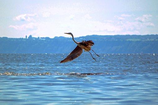 Bird, Great Blue Heron, Animal, Water, Nature, Animals