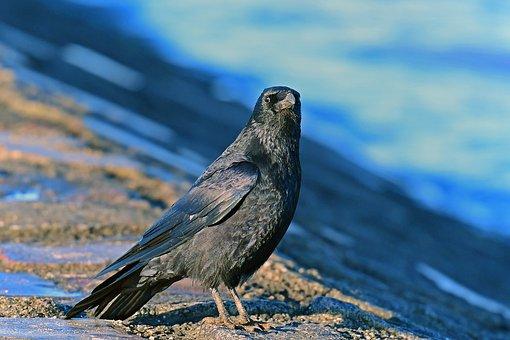 Carrion Crow, Birds, Corvidae