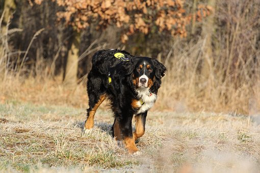 Bernese Cattle, Dog, Bitch, Black And White Dog