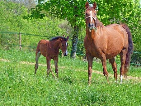 Horse, Pure Arab Blood, Breeding Horses, Pre, Mare