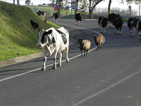 Road, Cattle, Cows, Walk, Animals, Sheep, Herd