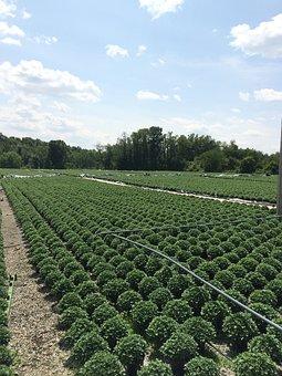 Chrysanthemum, Greenhouse, Grower