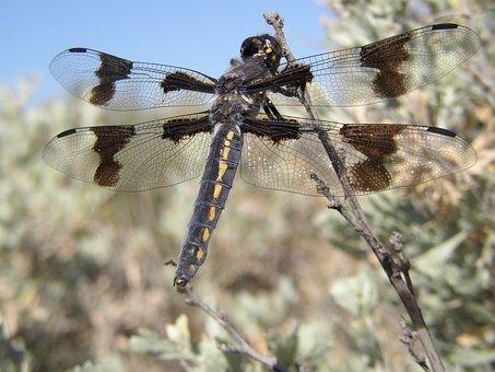 Dragon Fly, Sagebrush, Cowiche Canyon, Yakima, Desert