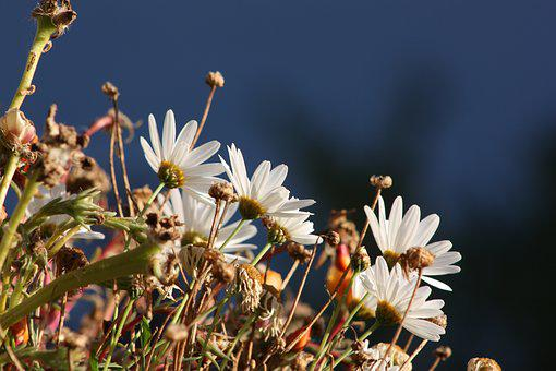 White Flowers, Marguerite, Daisies