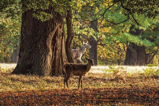 Deer, Autumn, Trees, Windsor, England
