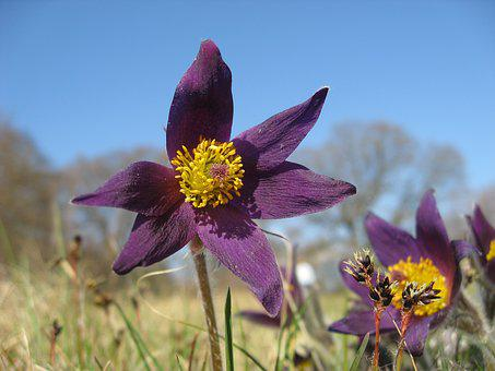 Backsippa, Flower, Plant, Spring, Flowers, Purple