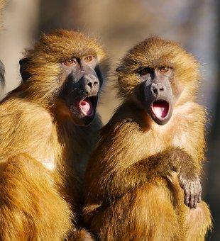 Animal, Ape, Berber Monkeys, Cry, Sing, Call, Friends