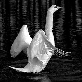 Swan, Animal, Lake, White, Bird, Open Wings, Escape