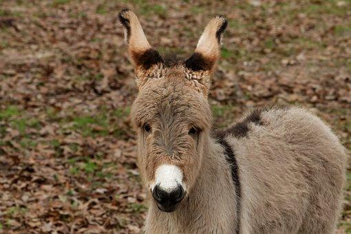 Mediterranean Donkey, Donkey, Baby, Cute, Farm