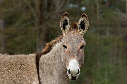 Mediterranean Donkey, Cute, Farm, Standing, Field