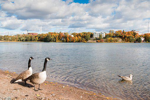 Bird, Goose, Canada Goose, Nature, Nature Photo, Water