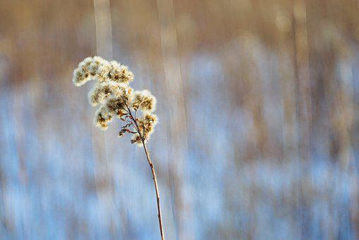 Solidago Canadensis, Dry Plant, Winter, Snow, Fluff