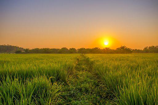Field, Sunrise, Green, Indonesian, Rural, Padi, Leaf