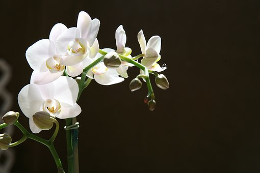 Orchid, Buds, Tropical, Phalaenopsis, Botanical