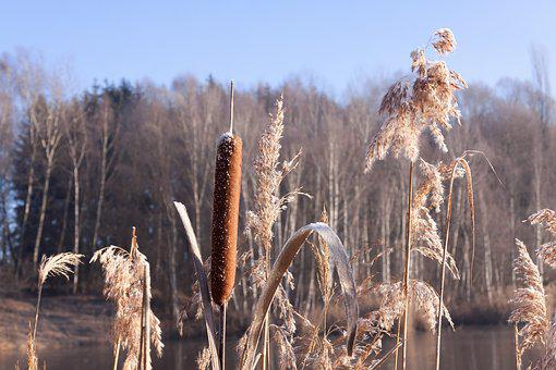 Cattail, Typha, Flying Seeds, Seeds, Kanonenputzer