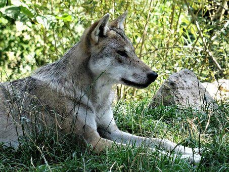 Wolf, Grey, Pack Animal, Canis Lupus, Hundeartig