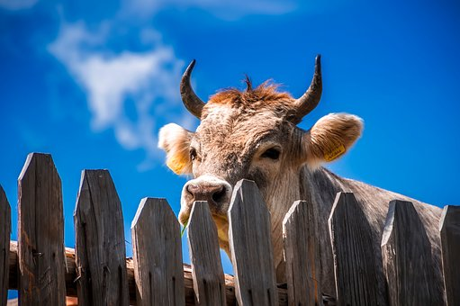 Cow, Animal, Livestock, Fence, Wooden, Closeup, Horns