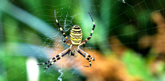 Nature, Animal, Insect, Spider, Wasp Spider, Macro
