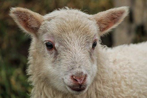 Lamb, Sheep, Head, Nature, Animal World, Mammal