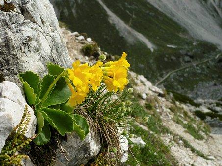 Auricula, Blossom, Bloom, Alpine Plant