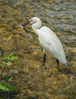 Bird, Egret, Fish, River, Eats, Green Grass, Beak