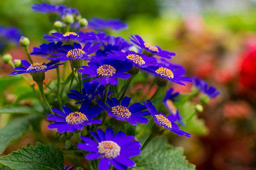 Chrysanthemum Stone, Wild Flowers, Blue Petals, Flower
