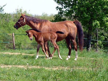 Horse, Pure Arab Blood, Breeding Horses, Equine, Horses