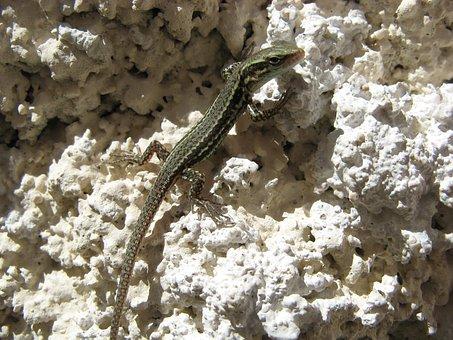 Lizard, Chatel Censoir, France