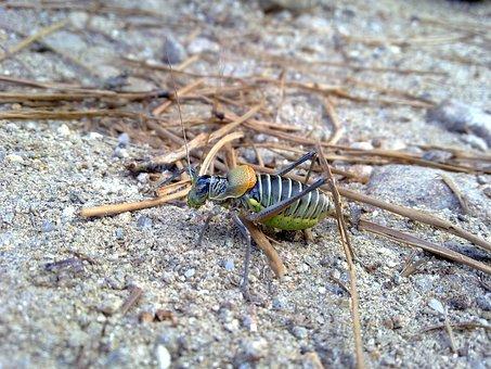 Grillotopo, Grillotalpa, Insect, Fauna