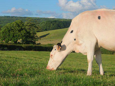 Cow, Cattle, Holstein, Farm, Animal, Agriculture