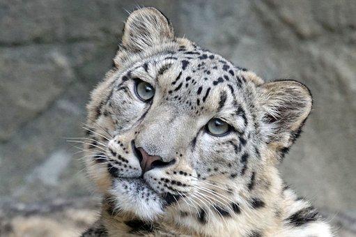 Snow Leopard, Irbis, Female, Predator, Carnivores