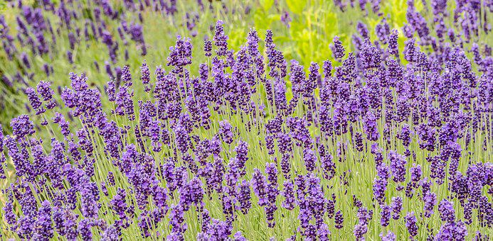 Flowers, Lavender, Garden, Plant, Purple