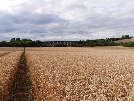 Leicestershire Corn Field