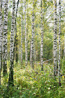 Birch, Forest, Nature, Trees, Tree, Living Nature
